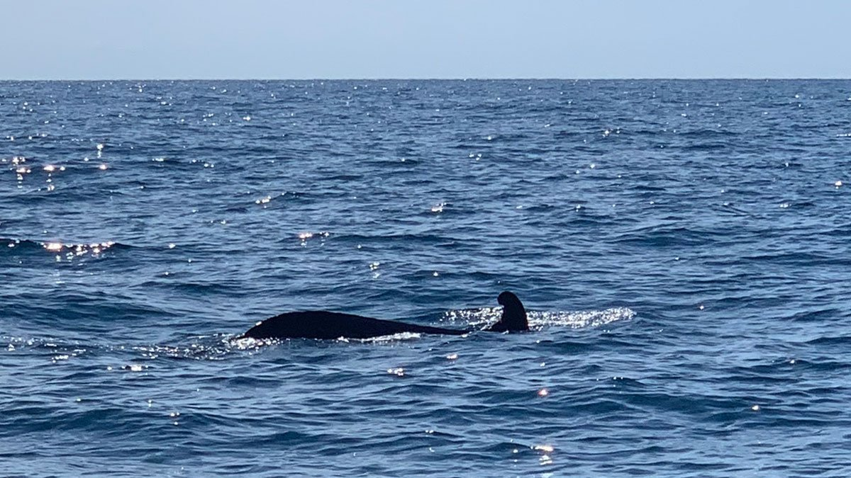 pilot whale swimming away