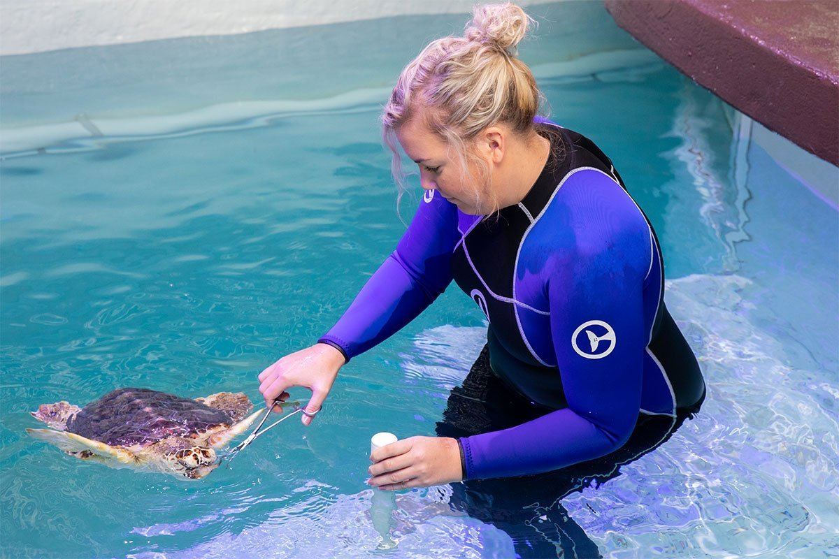 Snorkel, blind loggerhead sea turtle being fed