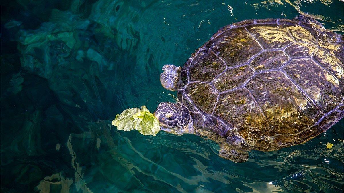 Stubby, sea turtle eating lettuce