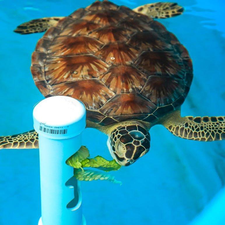 sea turtle rehab feeding device