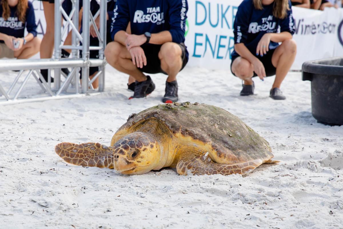 Nitro, loggerhead sea turtle release