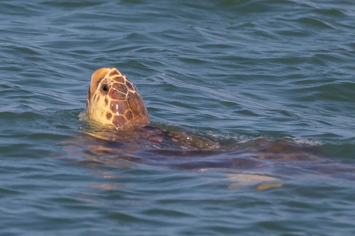Nitro, loggerhead sea turtle swimming after release