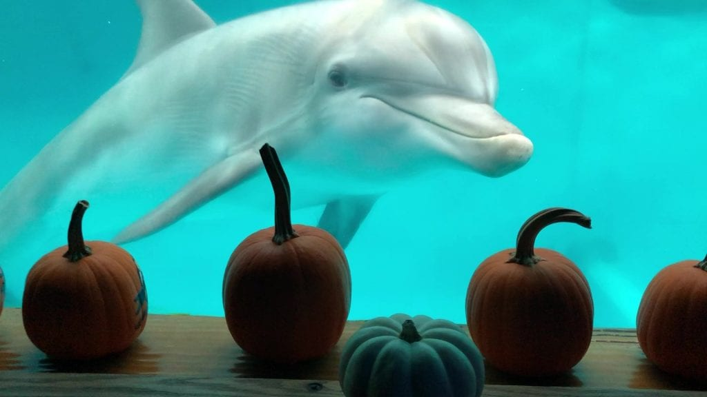Hope, dolphin with pumpkins at the window