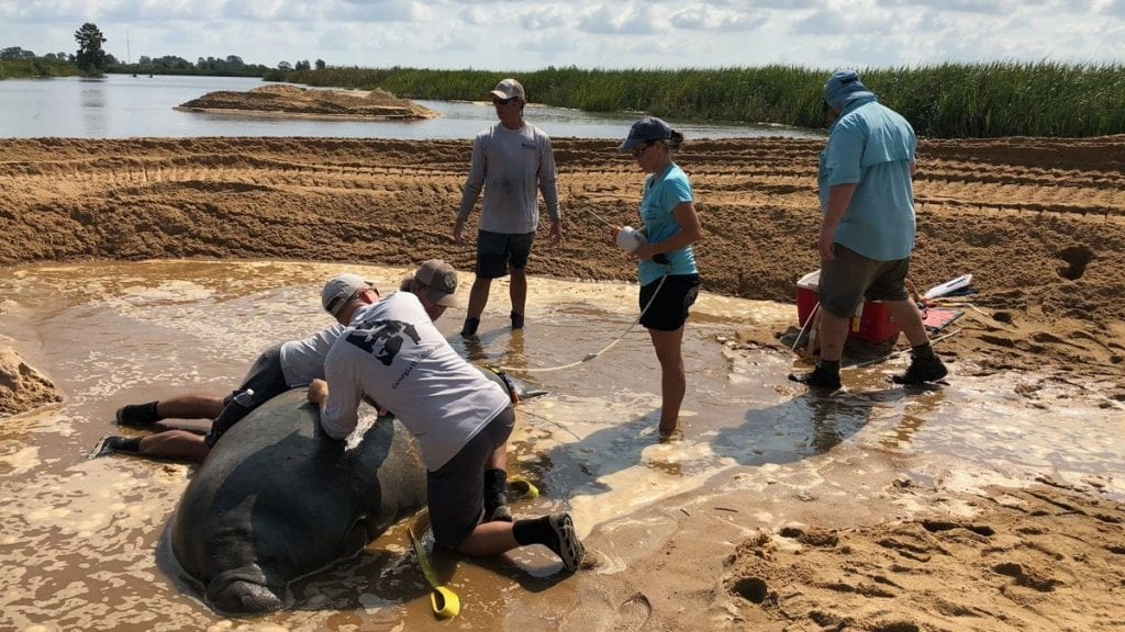 Stranded manatee being fitted with a satellite tag.