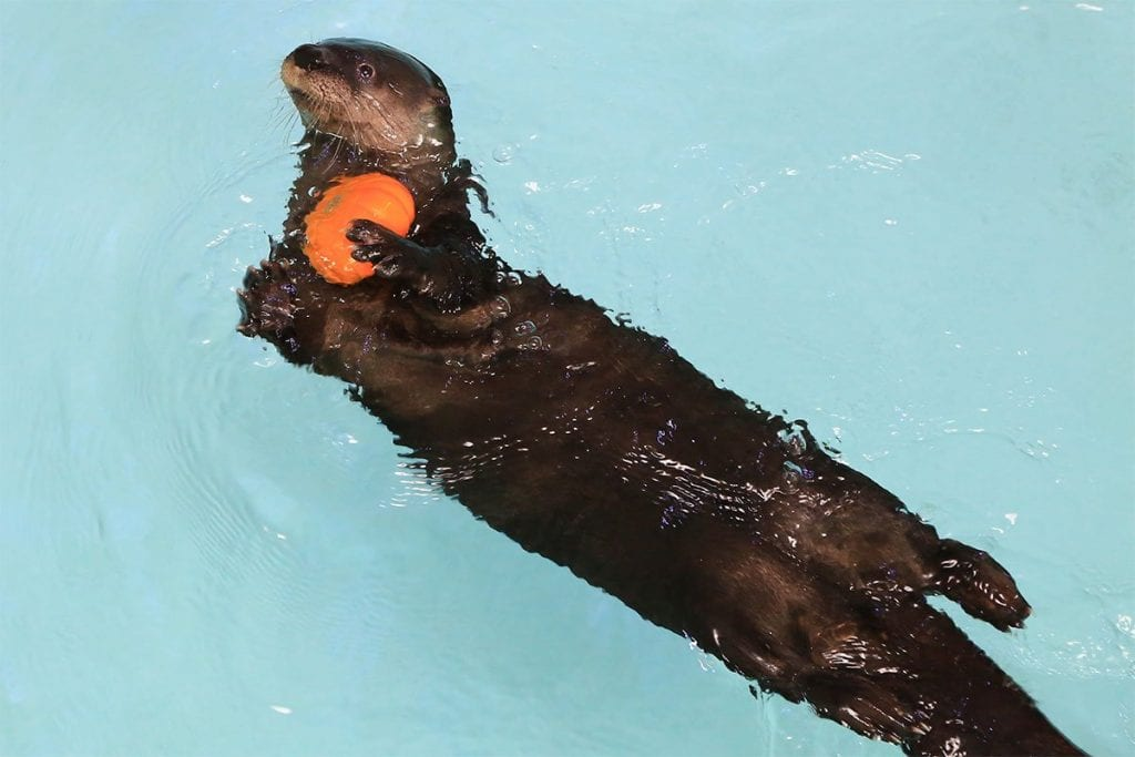otter with pumpkin