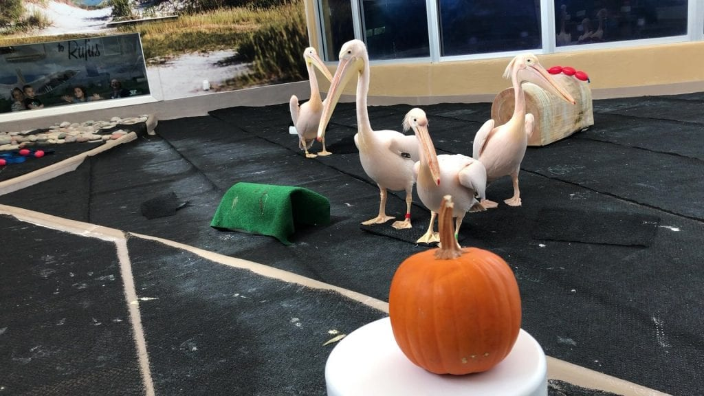 pelicans with pumpkin