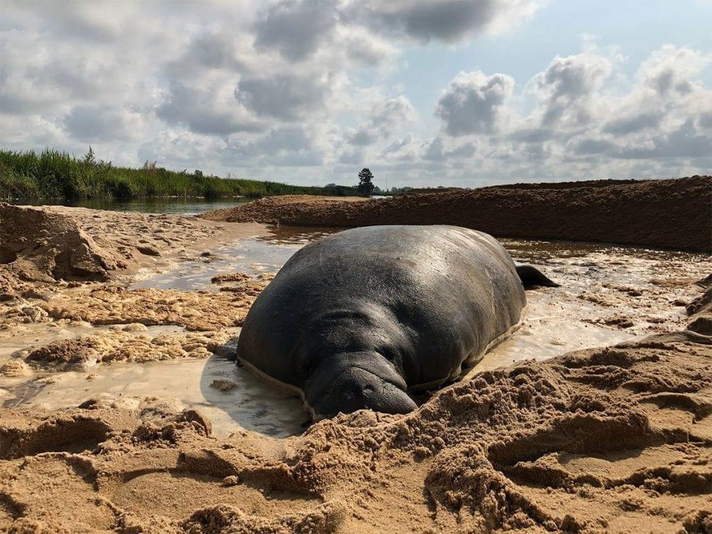 Stranded manatee