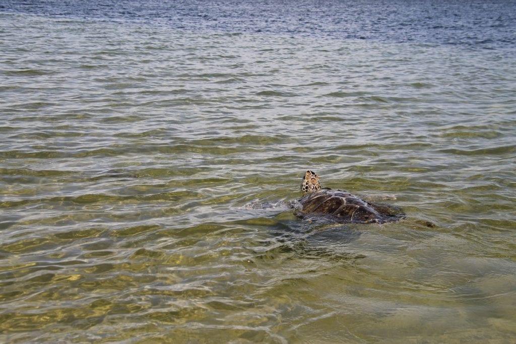 Xavier, green sea turtle released
