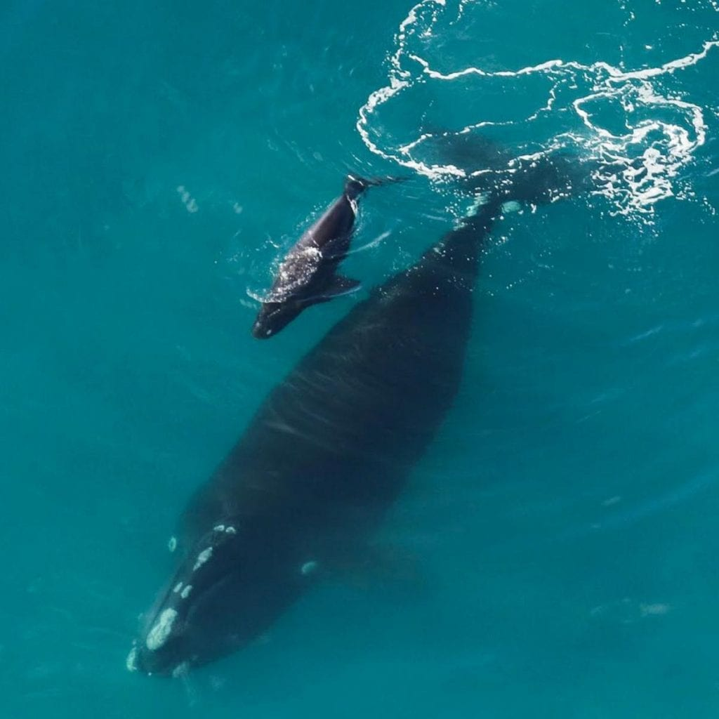 right whale with calf
