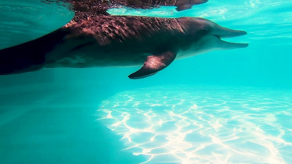steno dolphin in rehab