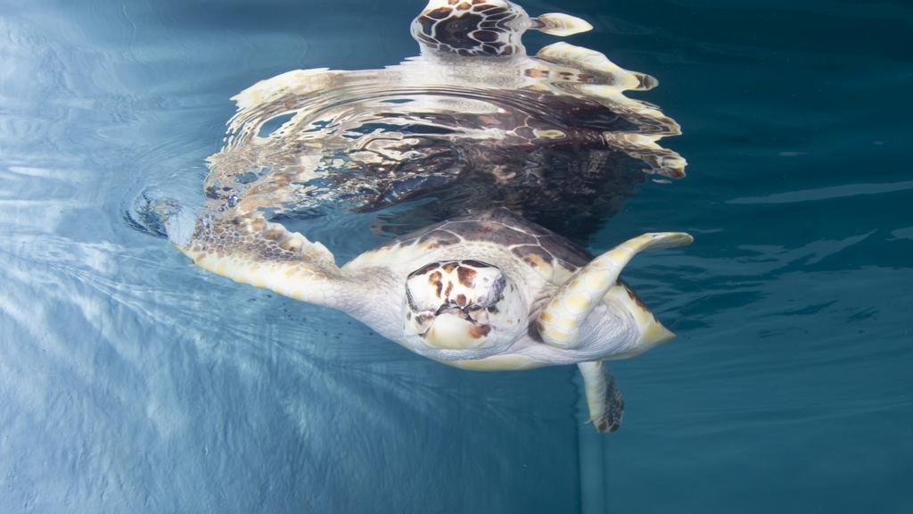 Snorkel, loggerhead sea turtle