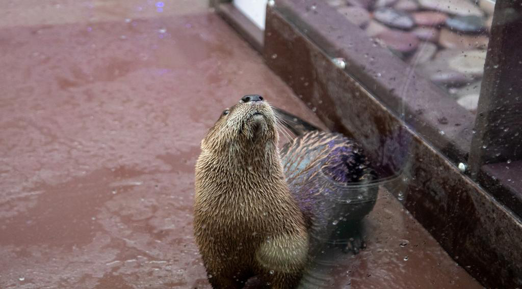 Boomer, otter learning stationing