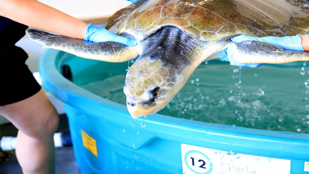 Charlie, a rescued Kemp's ridley sea turtle in rehab