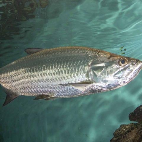 Aquarium Tarpon Fish
