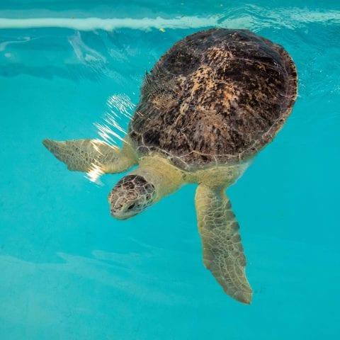 Bailey the Sea Turtle
