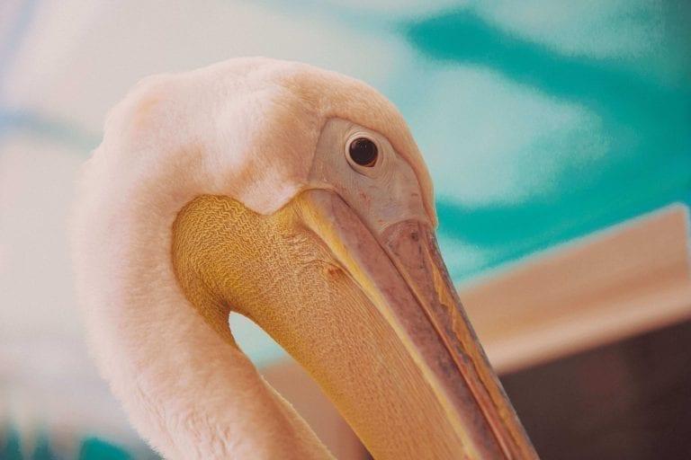 CMA Pelican