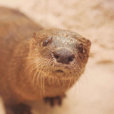 CMA River Otter