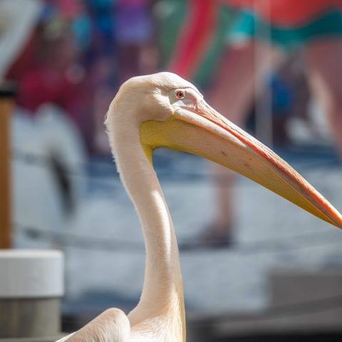 Matthew Resident Pelican