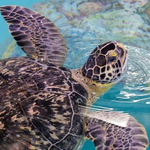 Cocoa the Sea Turtle
