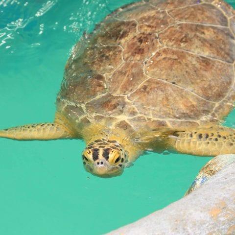 Cupid the Sea Turtle Swimming