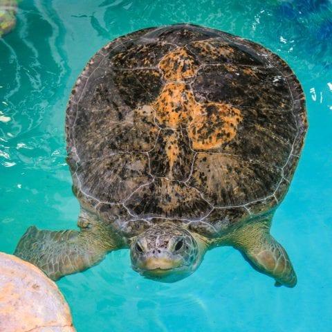 Aquarium Green Sea Turtle