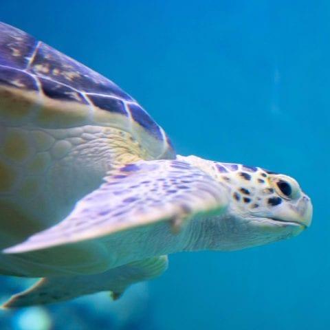 Mavis the Sea Turtle