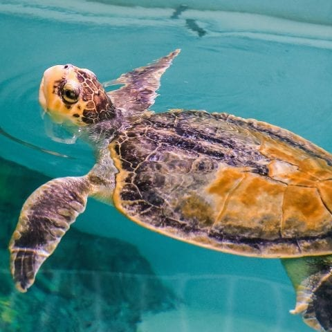Kemps Ridley Sea Turtle