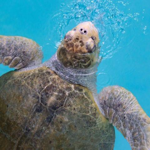 Max the Sea Turtle