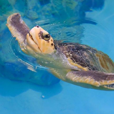 Rob the Sea Turtle