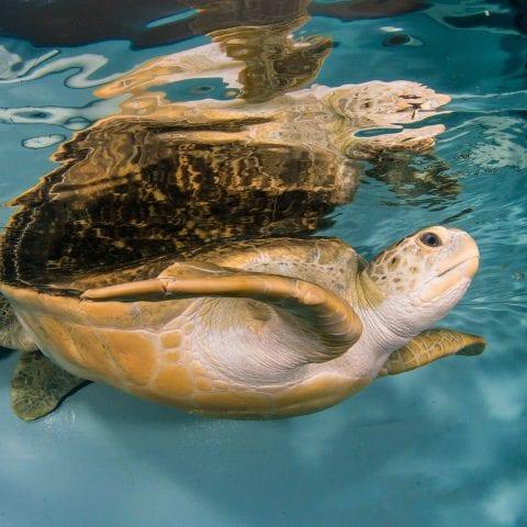 Titus the Sea Turtle