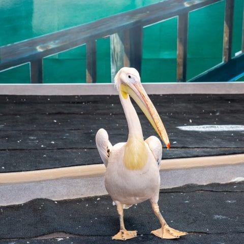 Tyndall Resident Pelican