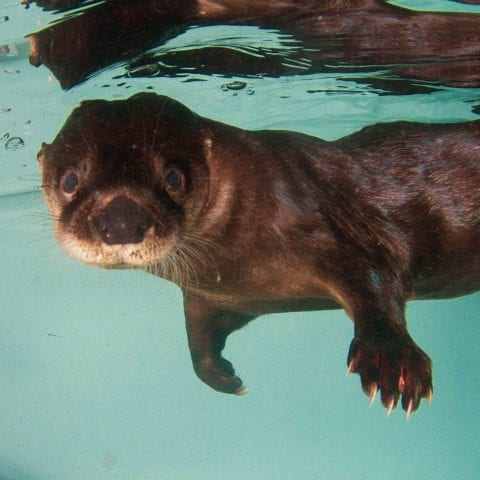 Walle the Otter Under Water