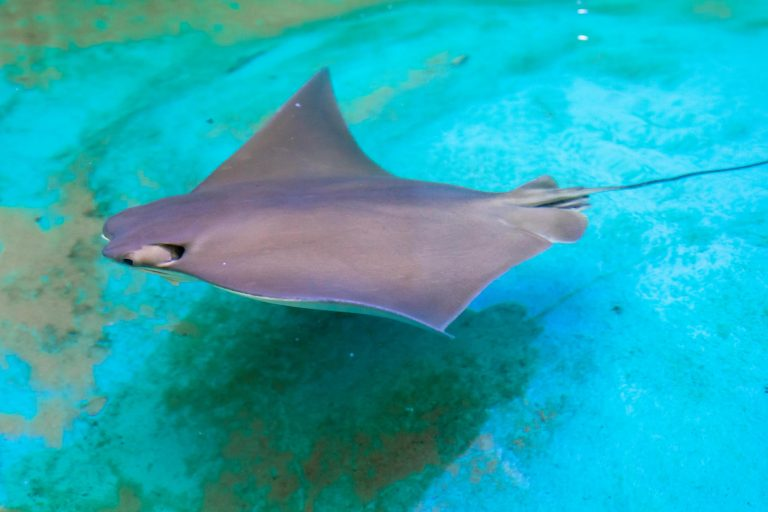 coownose stingray