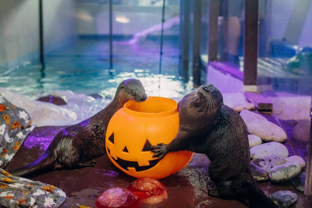 Otters and pumpkin treat