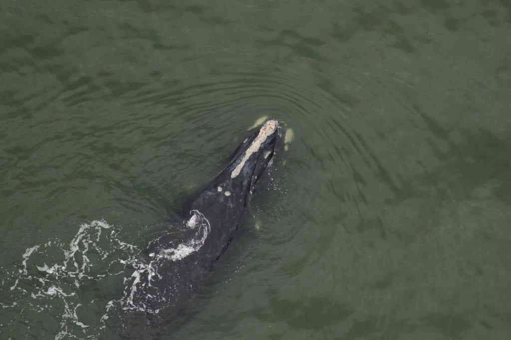 North Atlantic right whale, Chiminea