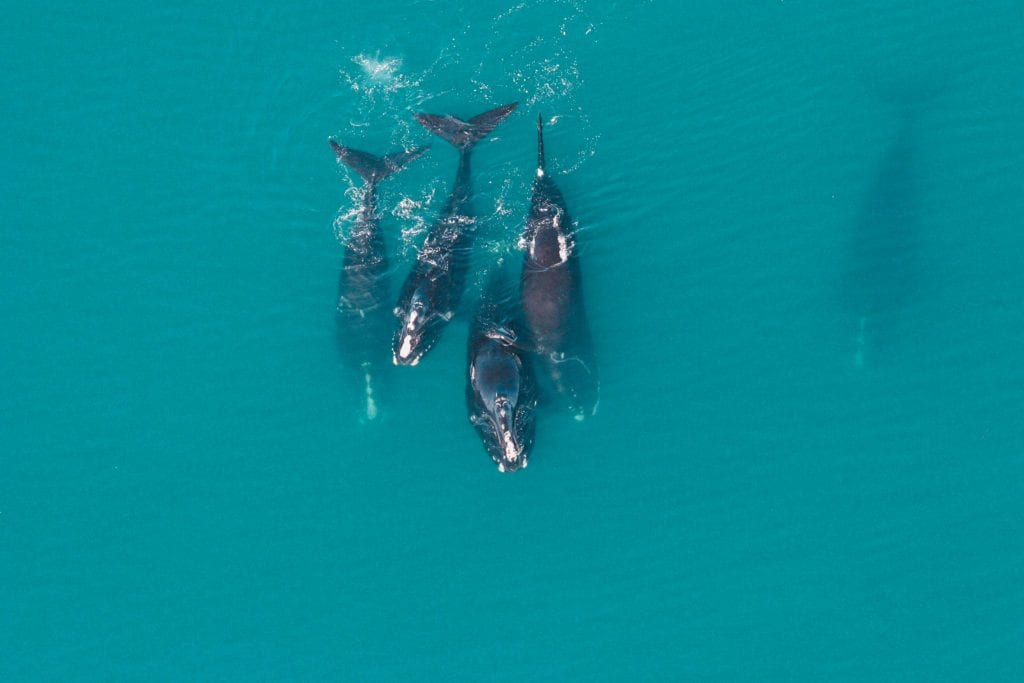 right whale group